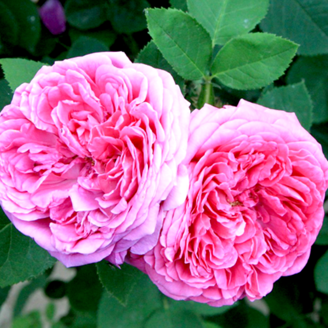 Rose-Otto-Essential-Oil.png