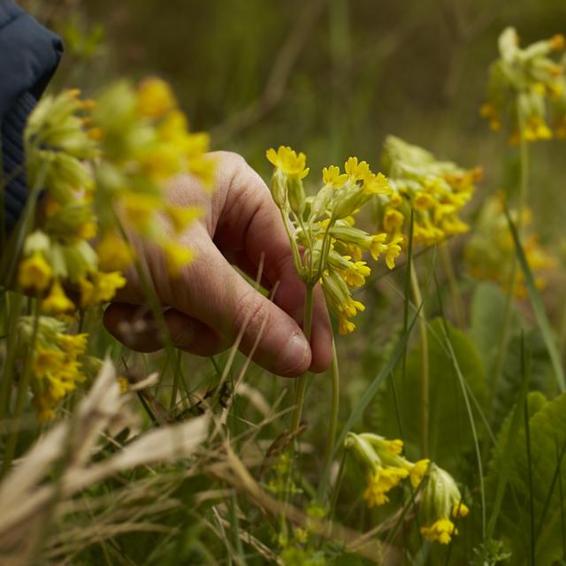 Prvosenka jarní je chráněnou bylinkou