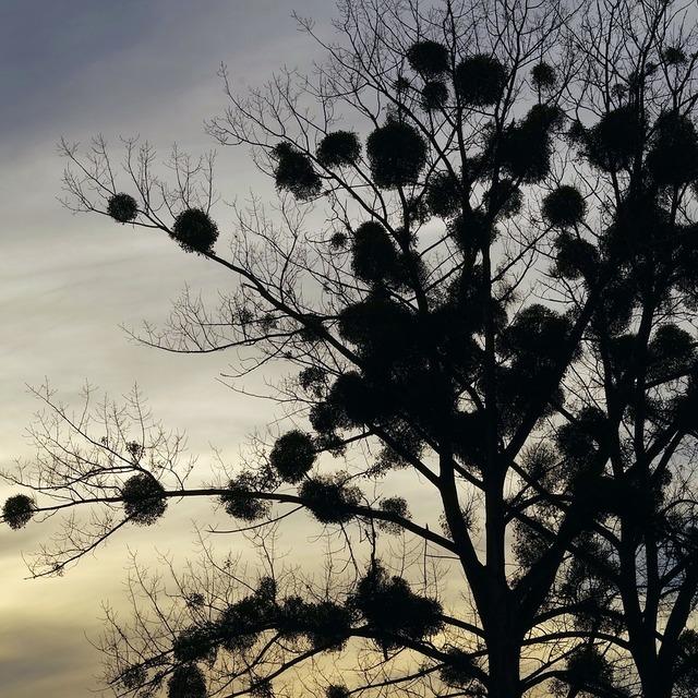 Jmelí na stromě