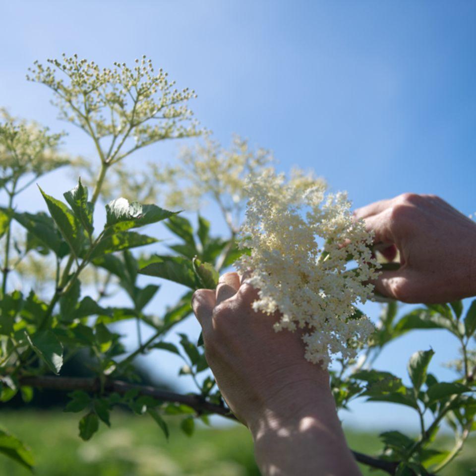 Bylinný čaj zkvětů černého bezu podporuje vylučování a pročištění těla. Navíc napomáhá normálnímu fungování močových cest.