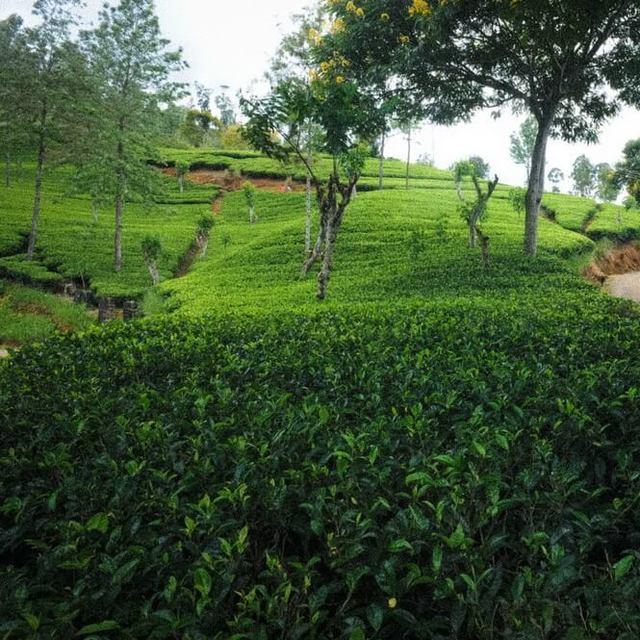 Dilmah Tea Estate - Radella