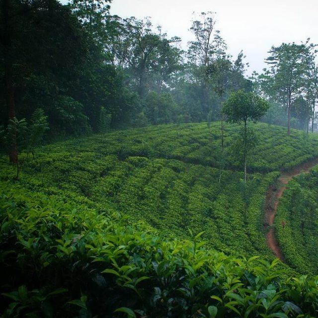 Dilmah Tea Estate - Imboolpitiya