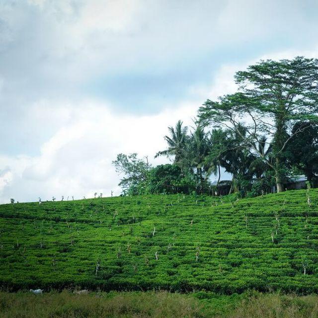 Dilmah Tea Estate - Devitura