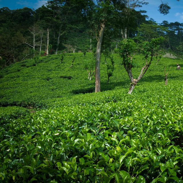 Dilmah Tea Estate - Endane