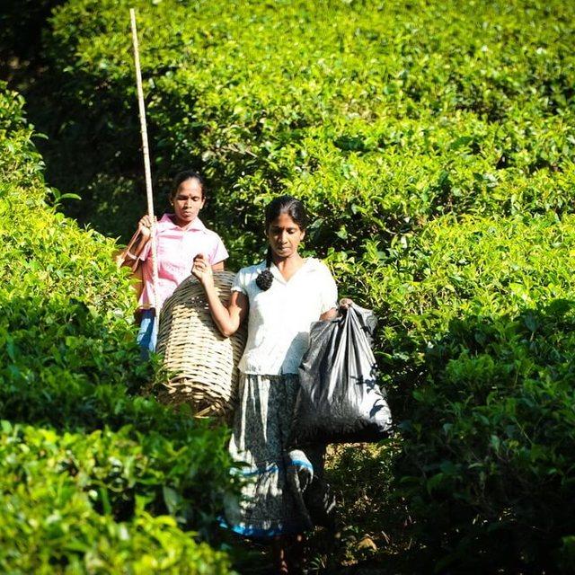 Dilmah Tea Estate - Hunuwella