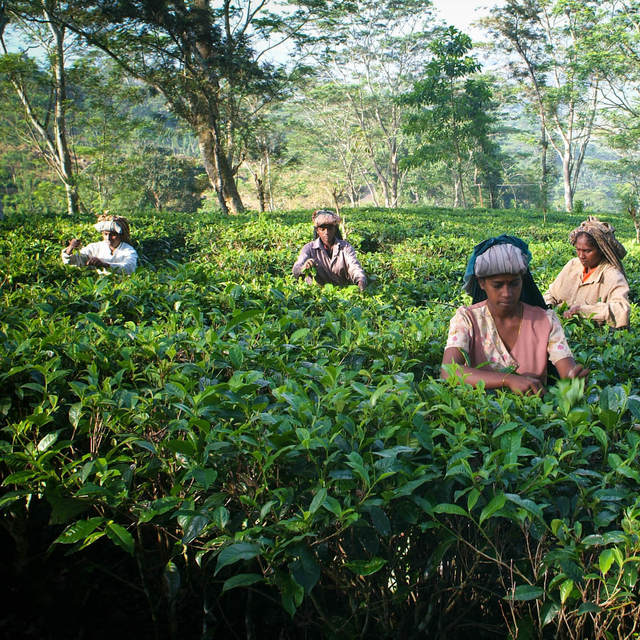 Dilmah Tea Estate - Nilagama