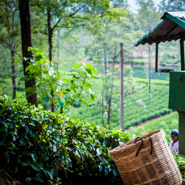 Dilmah Tea Estate - Great western