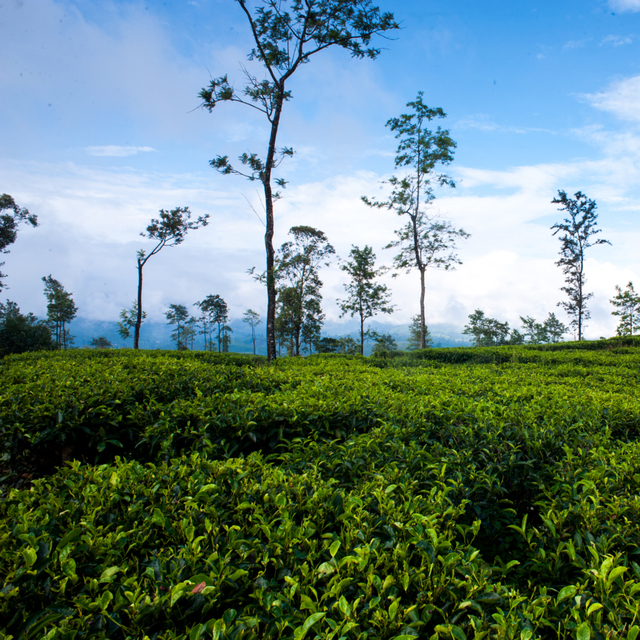 Dilmah Tea Estate - Mattekelle