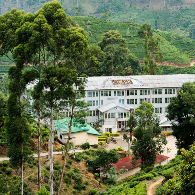 Dilmah Tea Estate - Queensberry