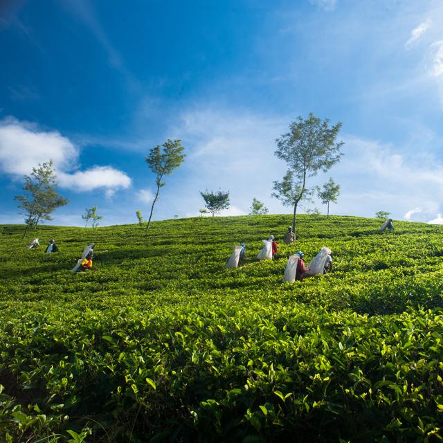 Dilmah Tea Estate - Dessford